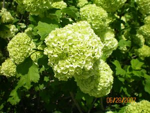 viburnum opulus 39 roseum 39 european snowball viburnum from. Black Bedroom Furniture Sets. Home Design Ideas