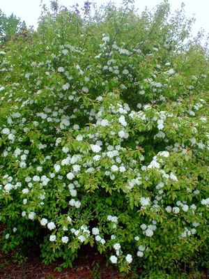 Viburnum Prunifolium Summer Magic From Classic Viburnums